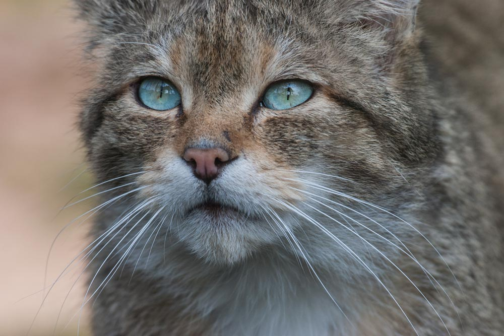 SC018 Wildkatze / wild cat
