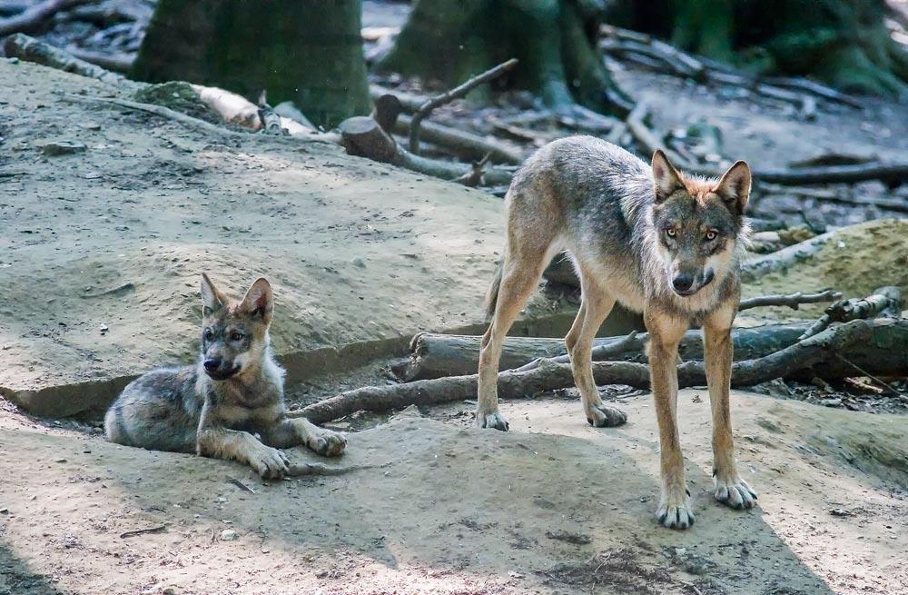 SC019 Wölfe / wolves