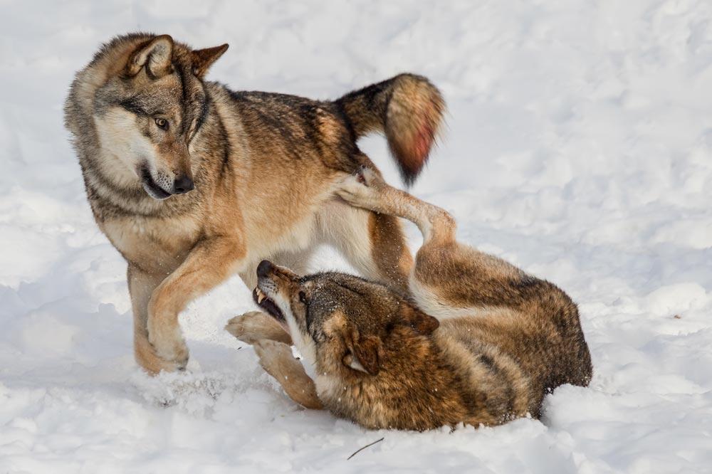 SC020 Wölfe / wolves