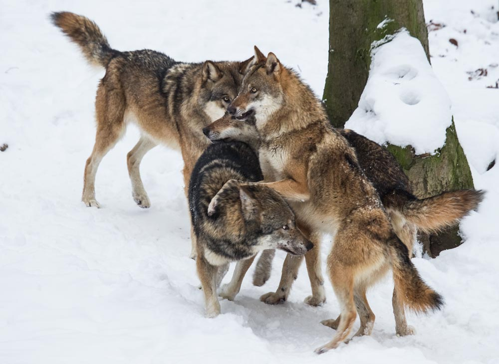 SC022 Wölfe / wolves