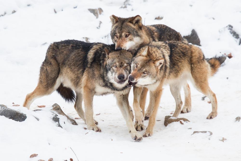 SC023 Wölfe / wolves