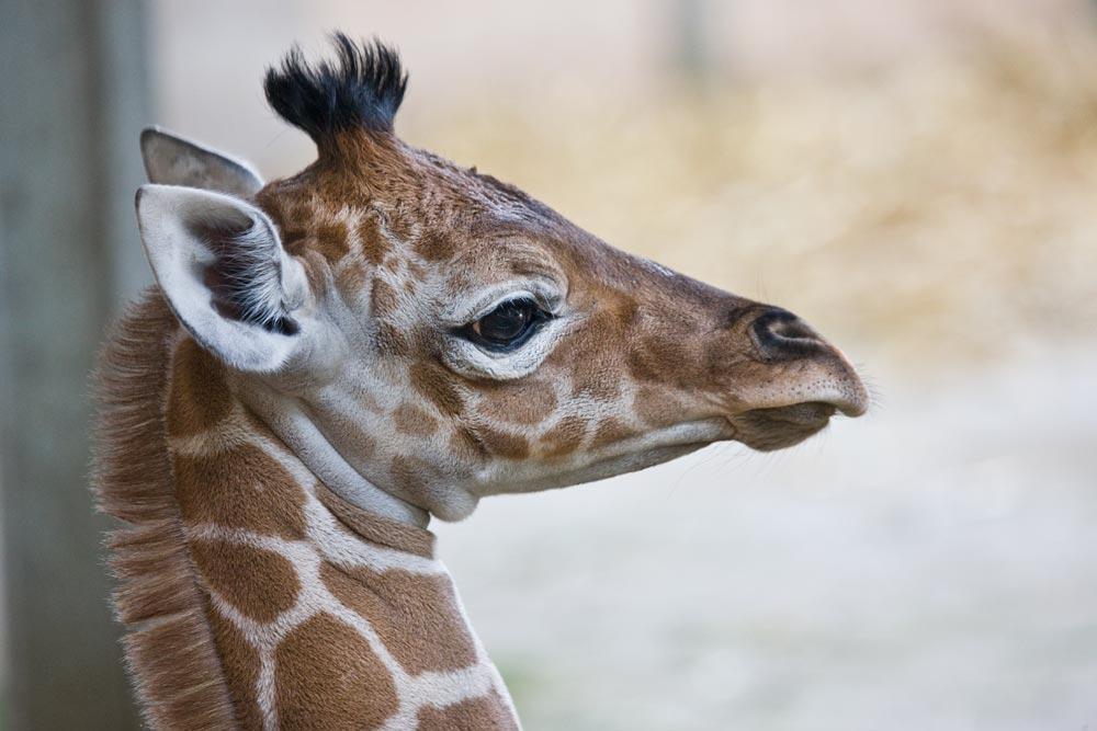 SC044 Giraffenbaby / baby giraffe