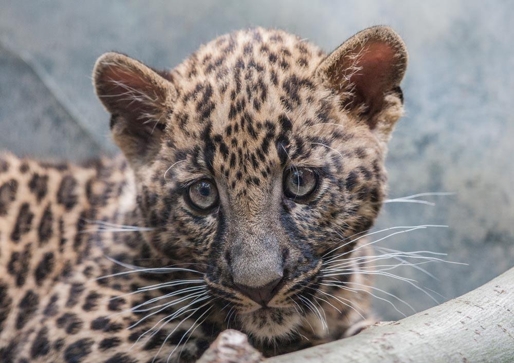 SC054 Jaguarbaby / jaguar cub