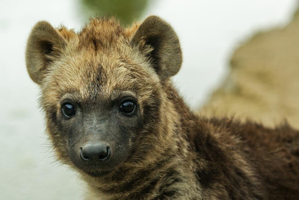 SC056 Junge Hyäne / young hyena