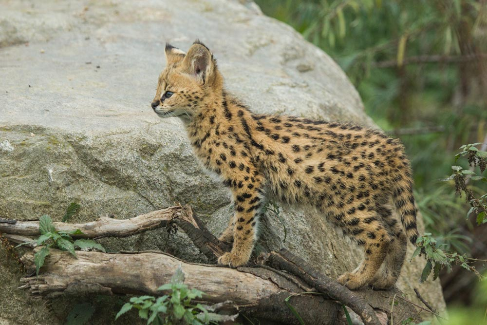 SC073 Junger Serval / young serval cat