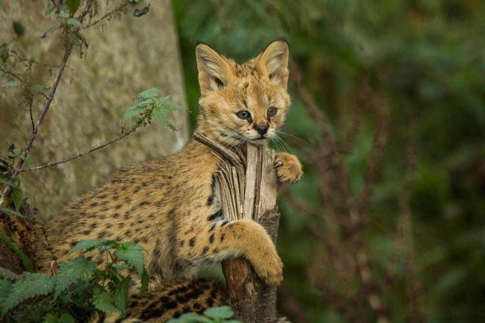SC074 Junger Serval / young serval cat