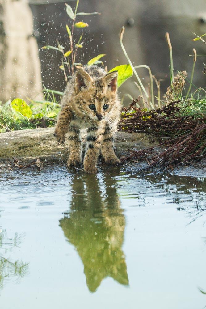 SC076 Junger Serval / young serval cat
