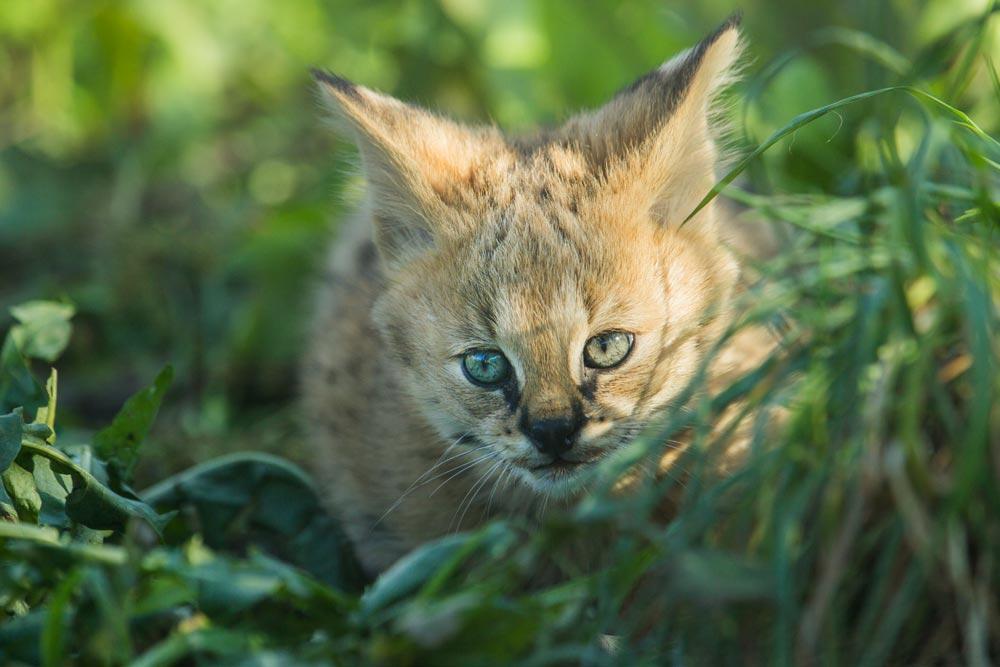 SC077 Junger Serval / young serval cat