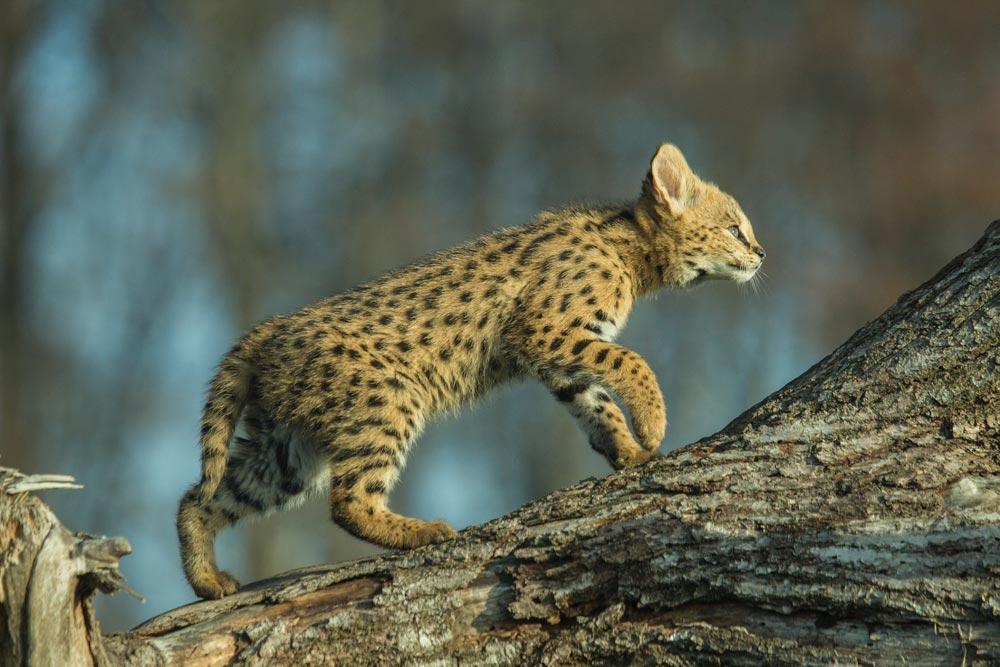 SC080 Junger Serval / young serval cat