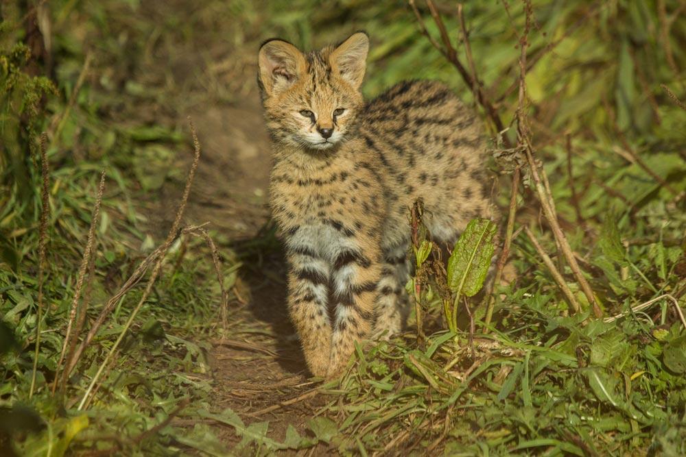 SC081 Junger Serval / young serval cat