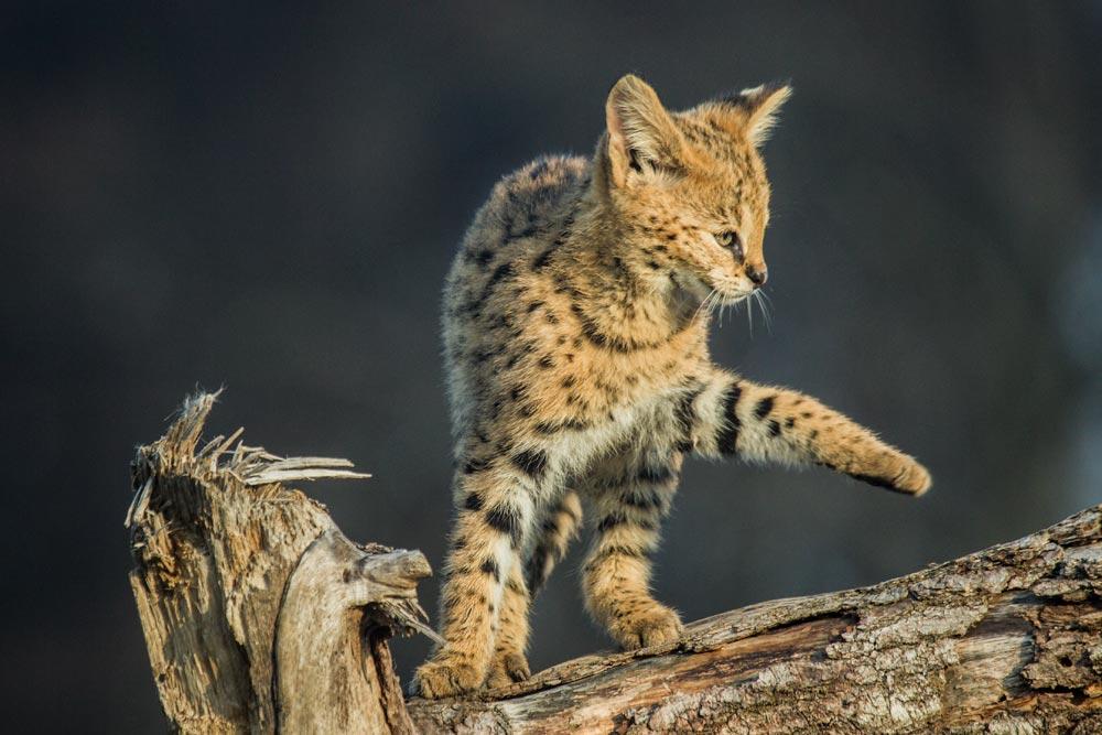 SC082 Junger Serval / young serval cat