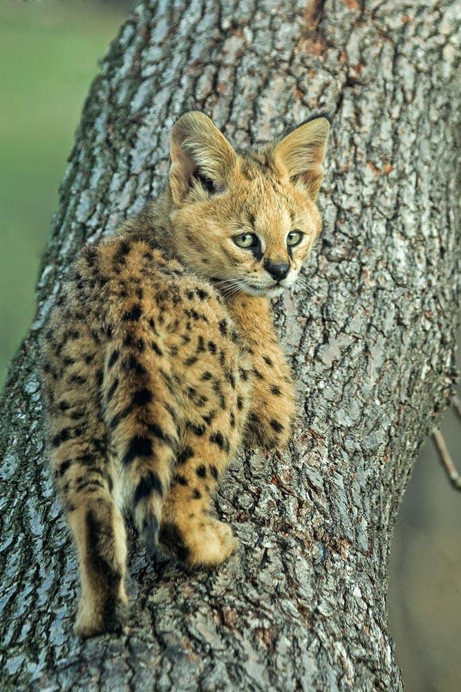 SC083 Junger Serval / young serval cat