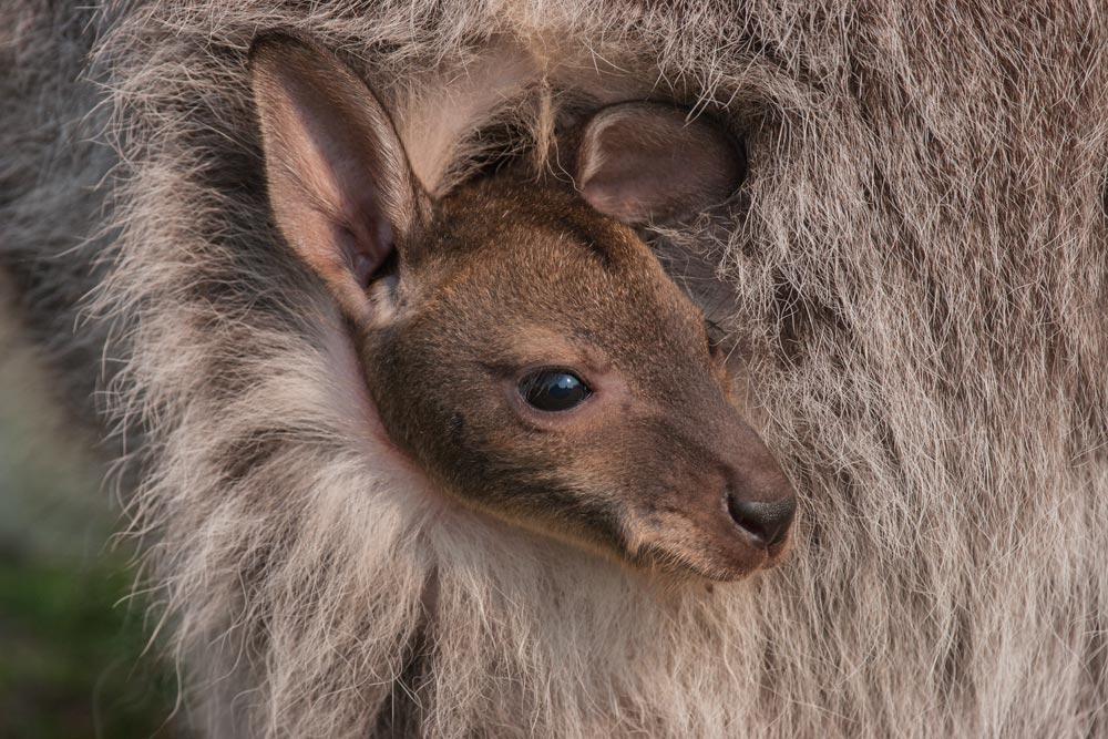 SC088 Känguruh / kangaroo