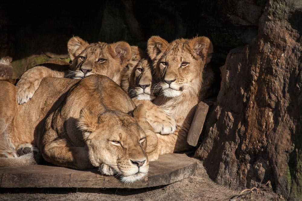 SC093 Löwen / lions