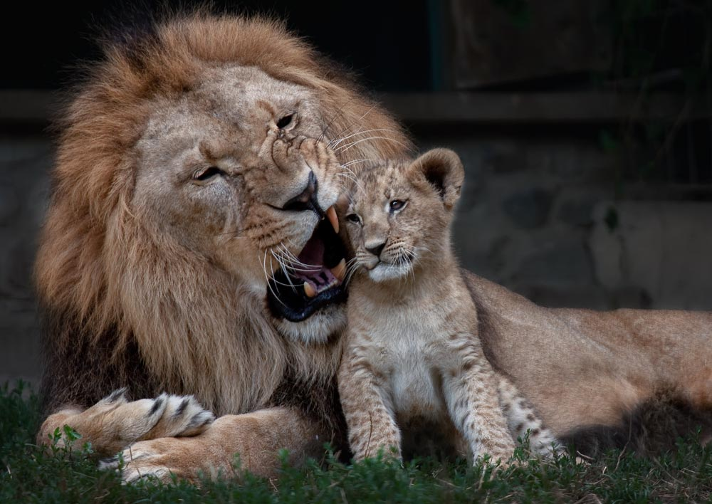 SC094 Löwen / lions