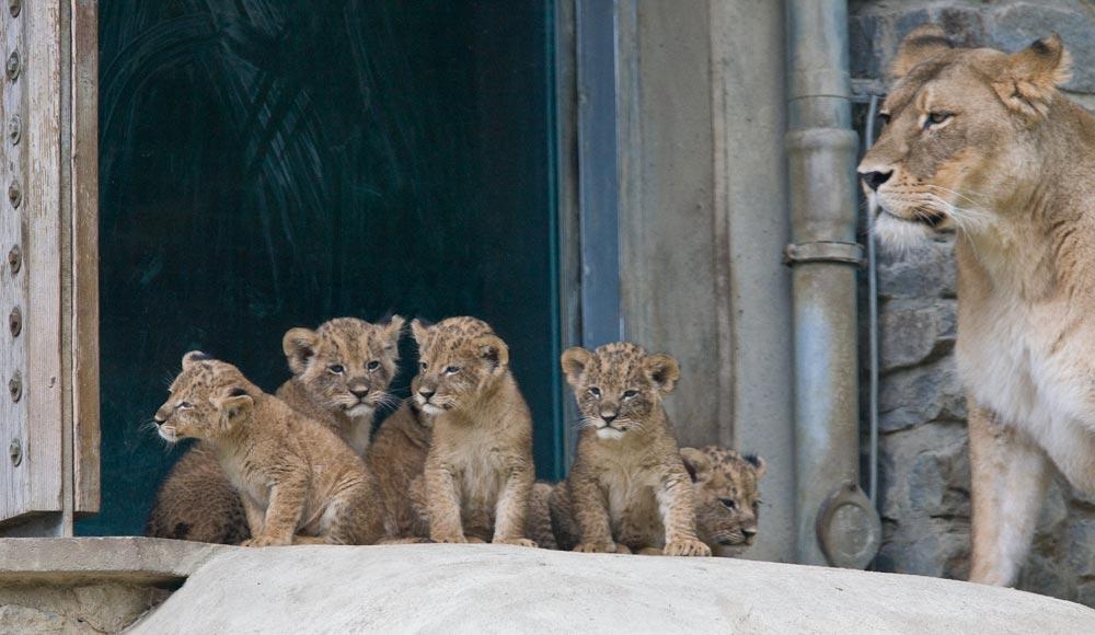 SC095 Löwenbabies / lion cubs
