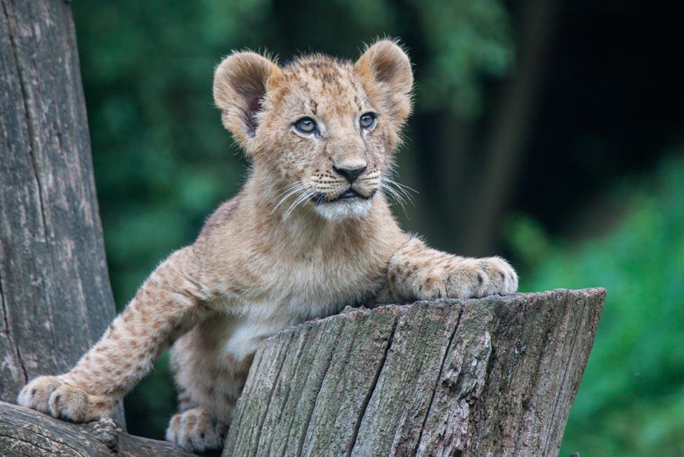SC096 Löwenbaby / lion cub