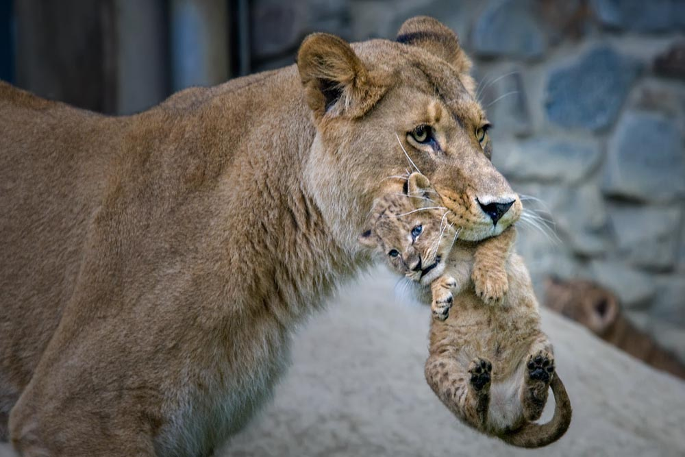 SC097 Löwin mit Baby / lioness with cub