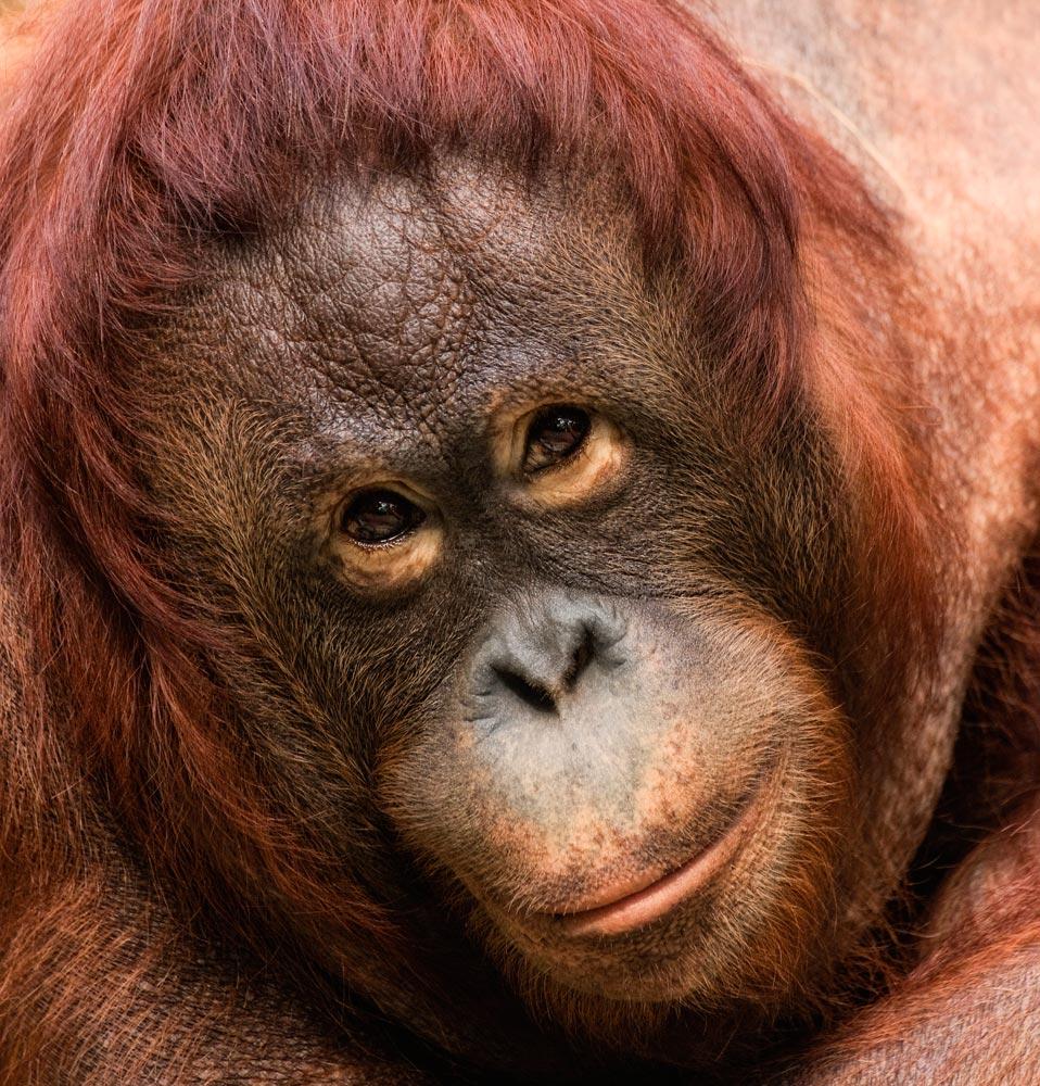 SC135 Orang-Utan-Baby / baby orangutan