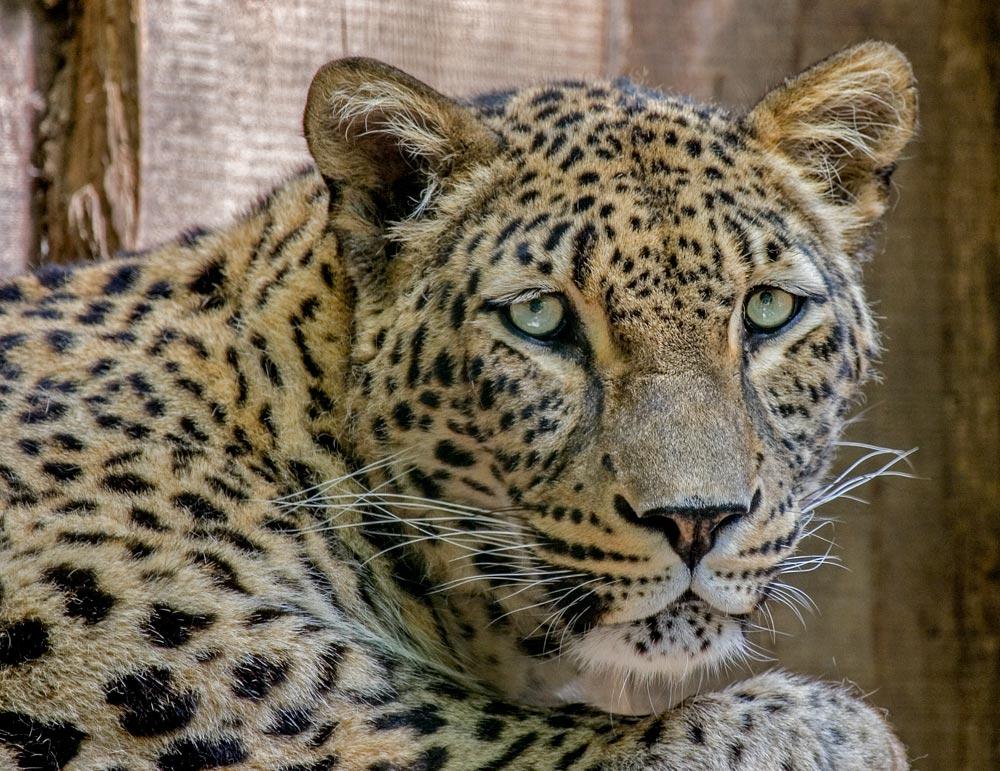 SC138 Persischer Leopard / persian leopard