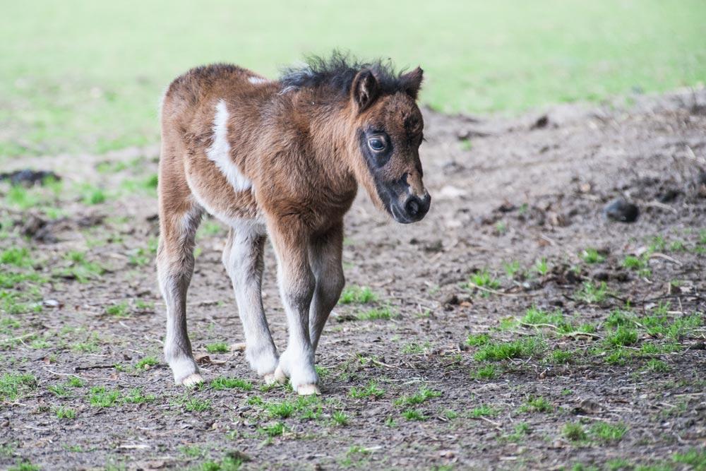 SC139 Przewalski-Fohlen / przewalski foal