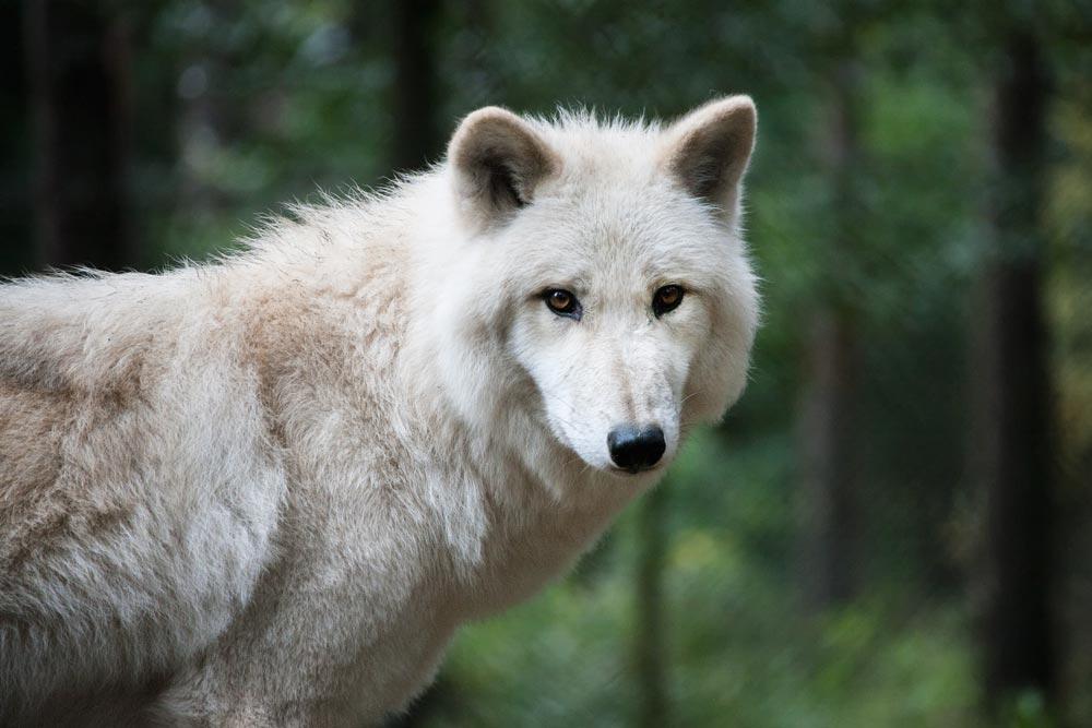 SC141 Polarwolf / arctic wolf