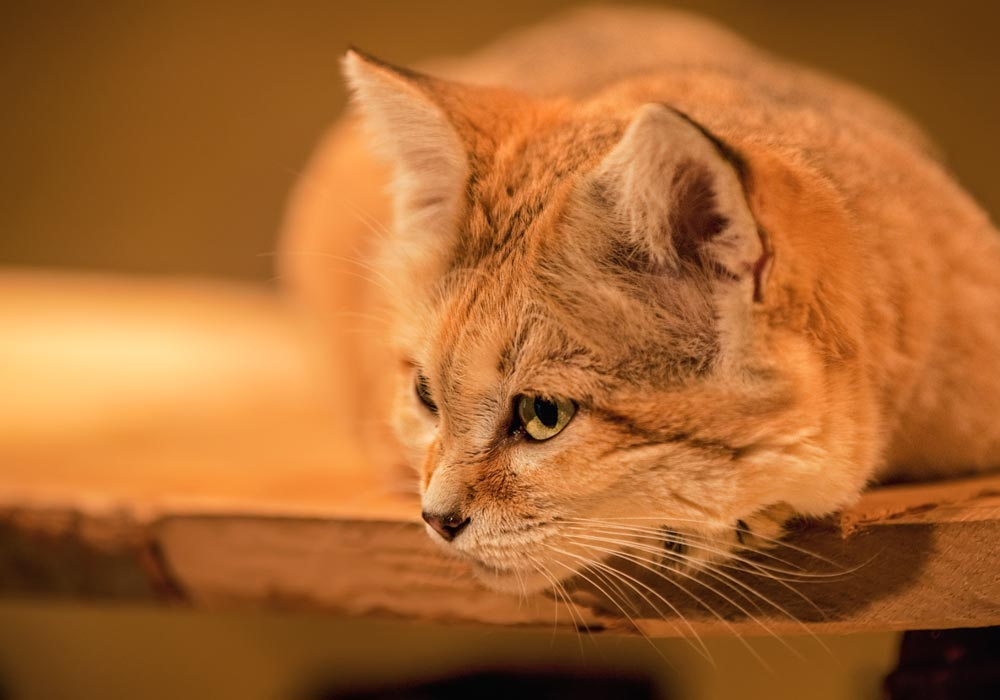SC151 Sandkatze / sand cat