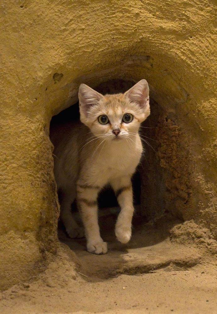 SC152 Sandkatze / sand cat