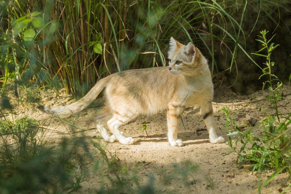 SC153 Sandkatze / sand cat