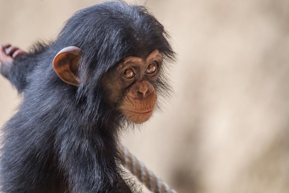 SC155 Schimpansenbaby / baby chimpanzee