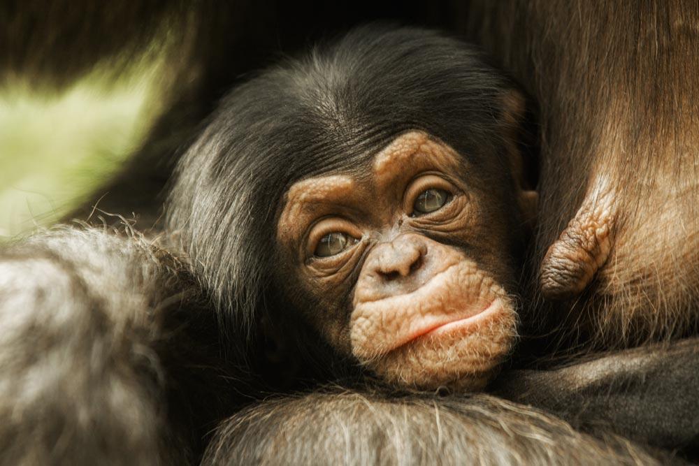 SC156 Schimpansenbaby / baby chimpanzee