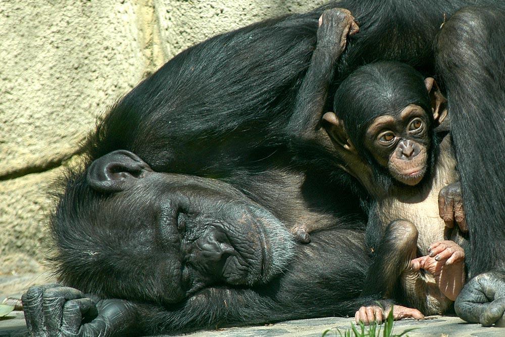 SC157 Schimpansen / chimpanzees