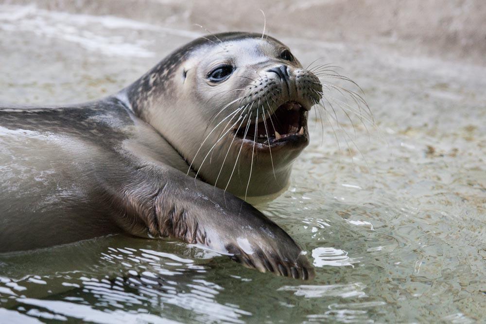 SC160 Seehundbaby / baby seal