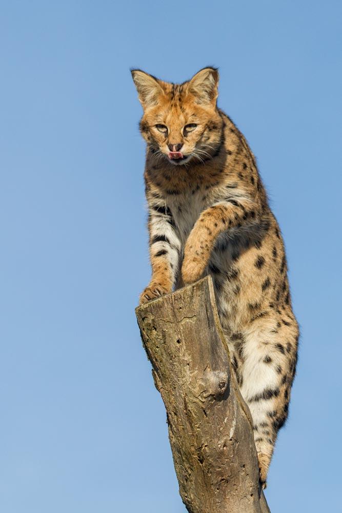 SC163 Serval / serval cat