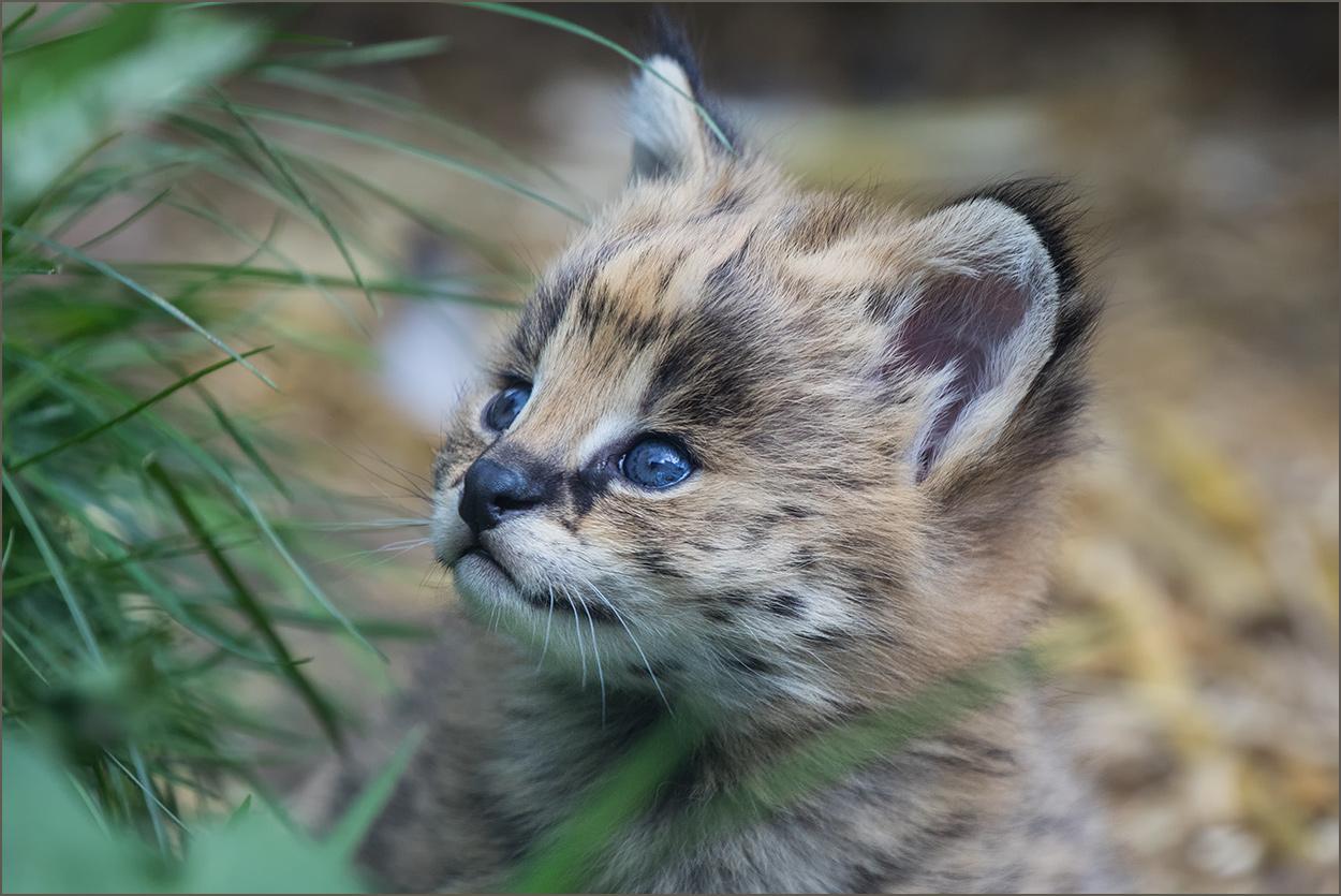 TCS181 Servalbaby / serval cat cub