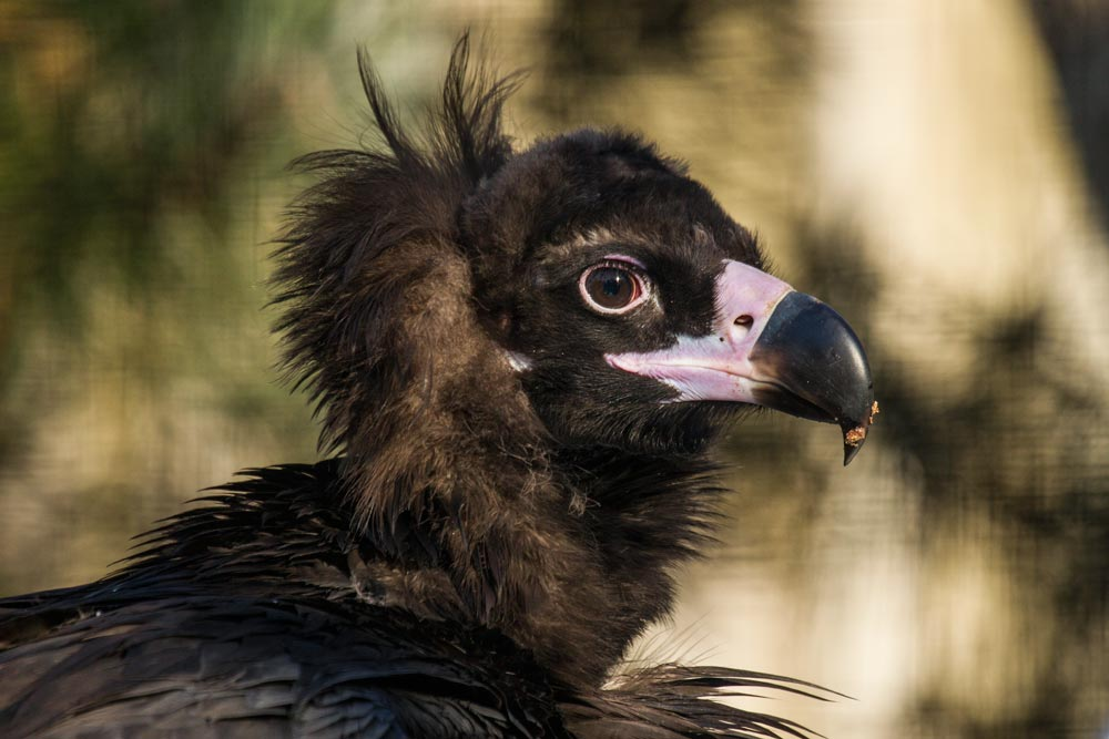 VC16 Mönchsgeier / black vulture