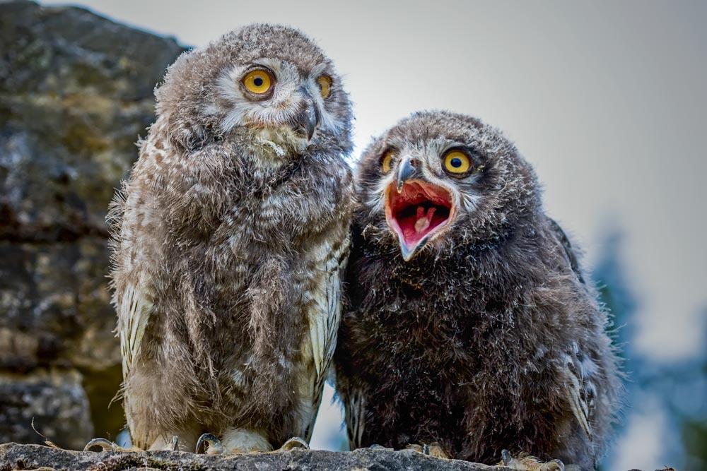 VC26 Schneeeulen / snowy owls