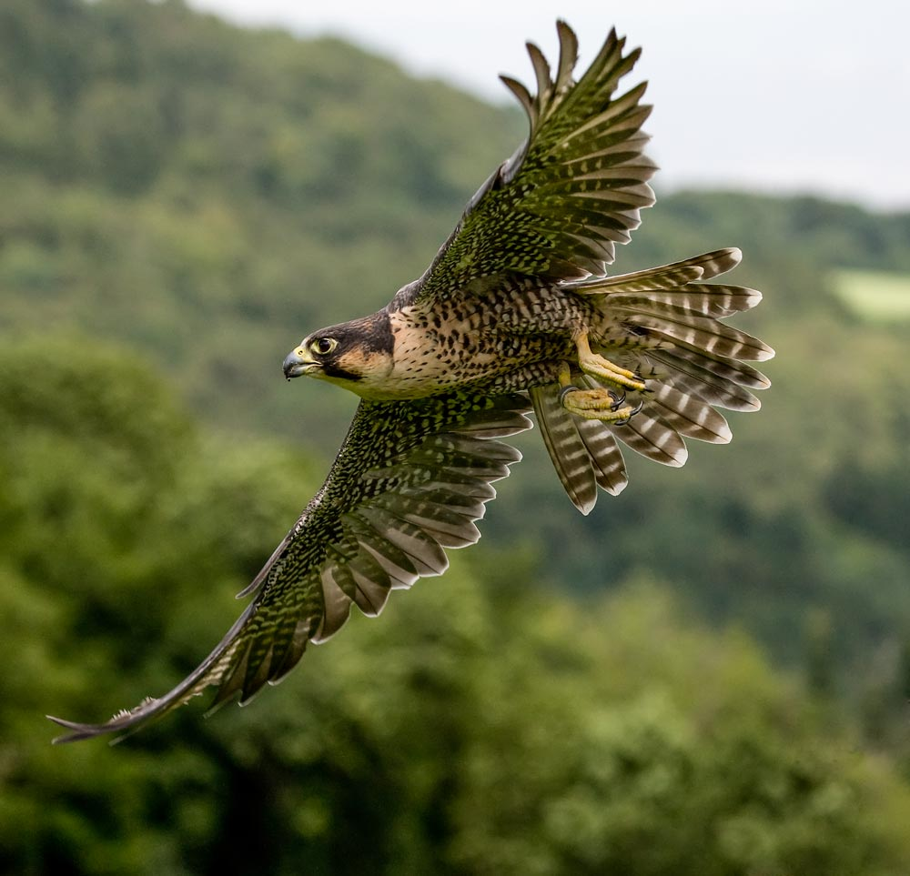 VC32 Wanderfalke / peregrine falcon