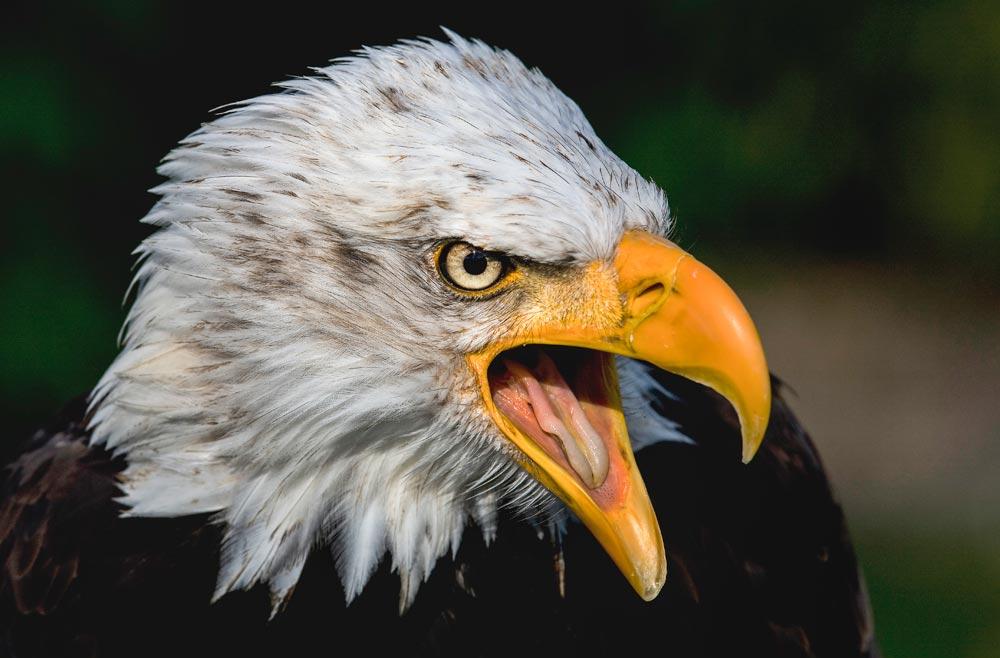 VC34 Weisskopfseeadler / bald eagle