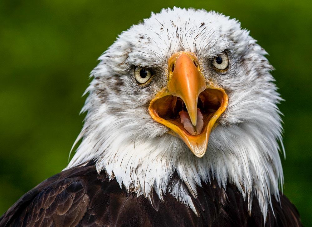 VC36 Weisskopfseeadler / bald eagle