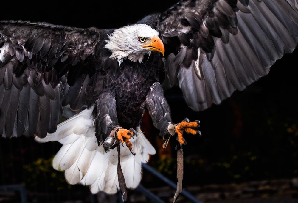 VC37 Weisskopfseeadler / bald eagle