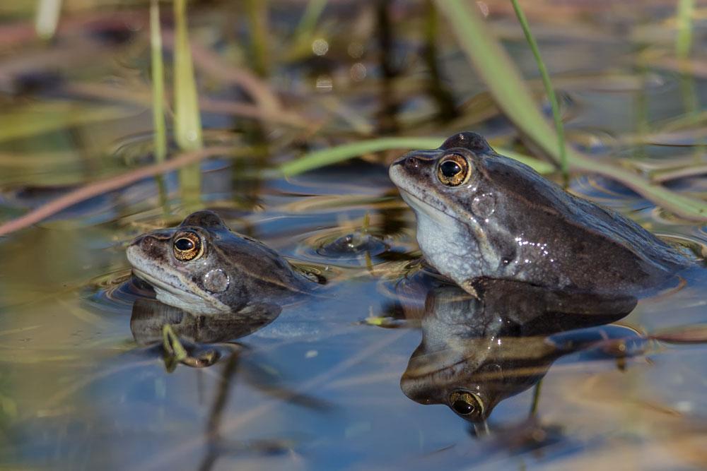TWA09 Moorfrösche / moor frogs