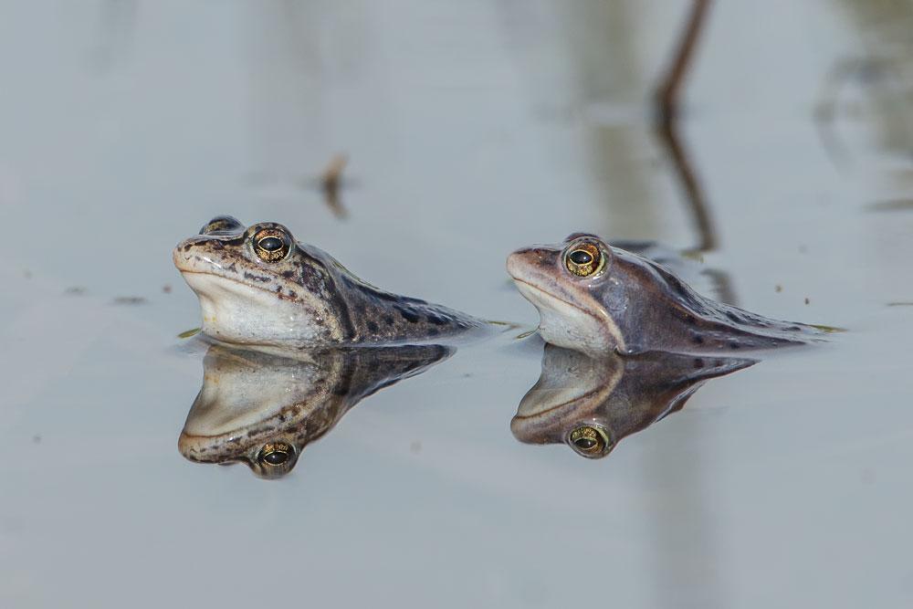 TWA11 Moorfrösche / moor frogs