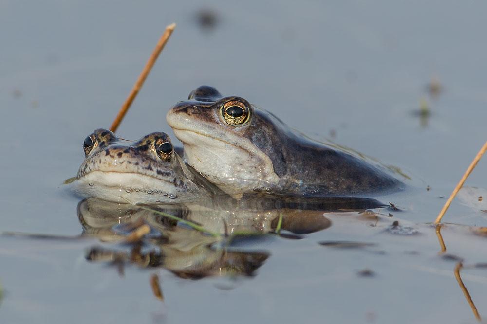 TWA12 Moorfrösche / moor frogs