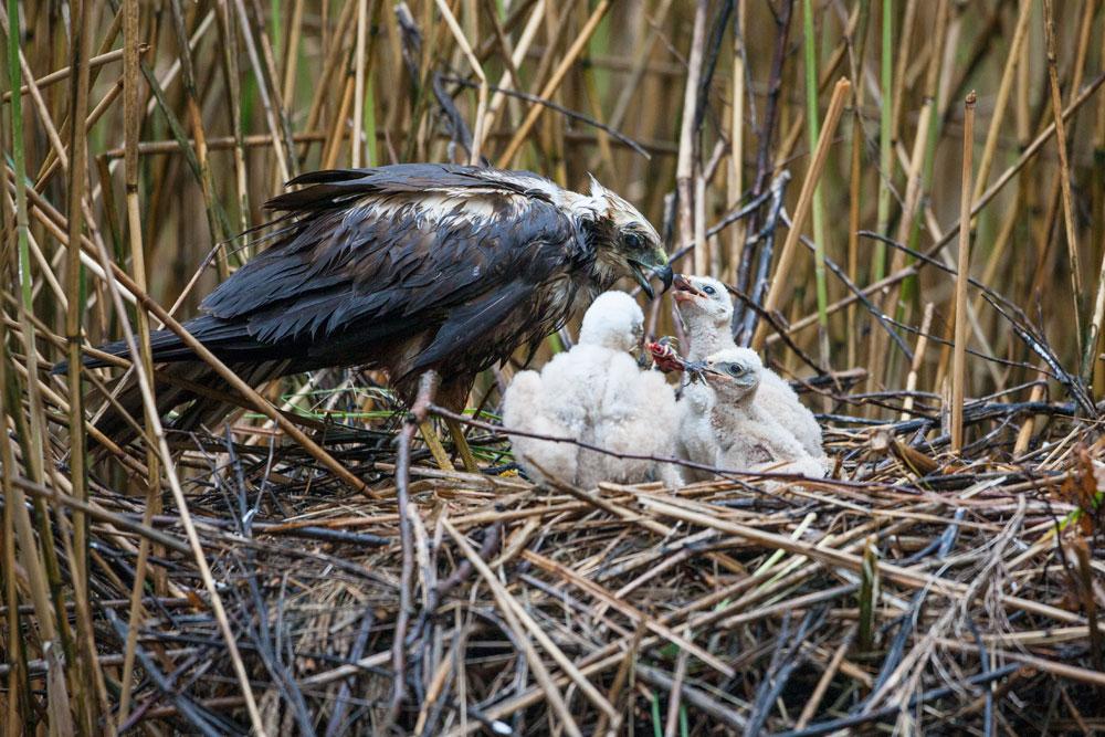 WG007 Rohrweihe - Fütterung / marsh harrier - feeding