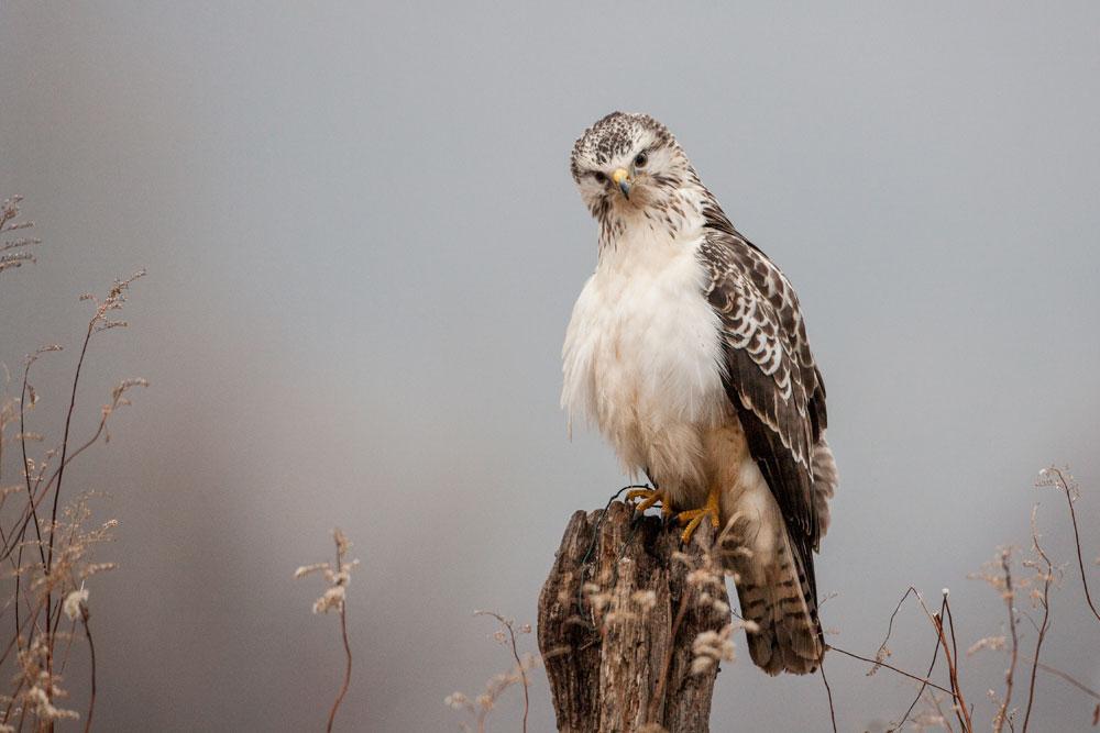 WG011 Mäusebussard / buzzard