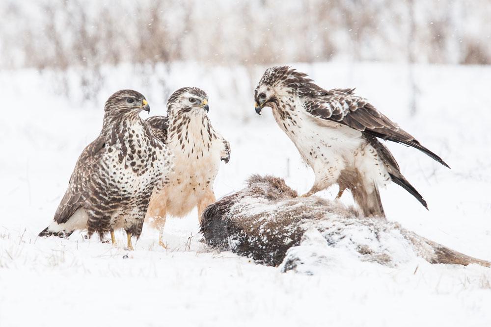 WG019 Mäusebussarde / buzzards