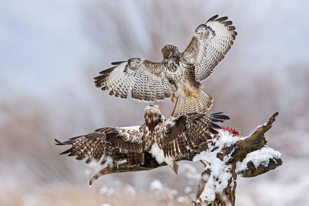 WG025 Mäusebussarde / buzzards