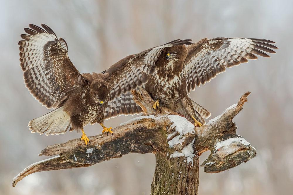 WG033 Mäusebussard / buzzard