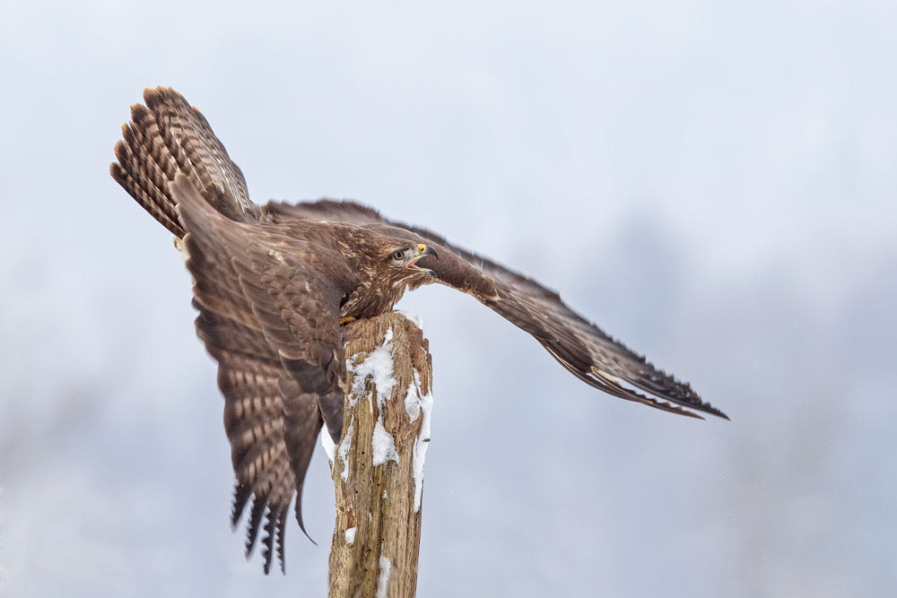 WG036 Mäusebussard / buzzard